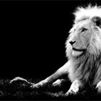 immagini-animali-leone-bianco