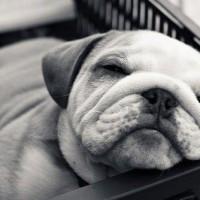 immagini-cuccioli-cane-buldog