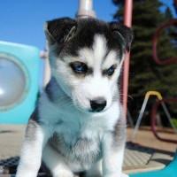 immagine-cucciolo-cagnolino