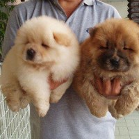 immagini-cuccioli-cani-pelosi