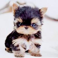 immagine-cucciolo-cane-occhi-grandi