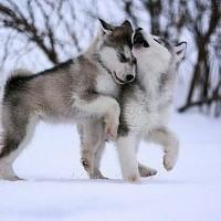 immagini-cuccioli-cani-husky