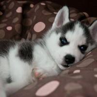 immagini-cuccioli-cane-husky