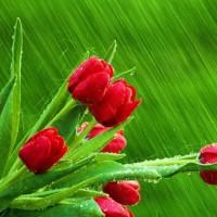immagini-natura-tulipani-rossi