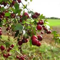 immagini-natura-frutti
