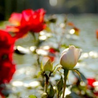 immagini-natura-rosa-bianca