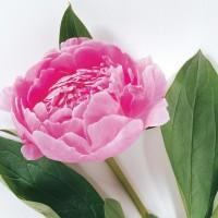 immagini-natura-fiore-sbocciato