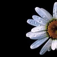 immagini-sfondi-ipad-margherita-fiore
